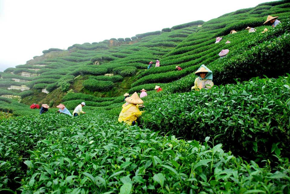 مزارع الشاي في باندونج اندونيسيا